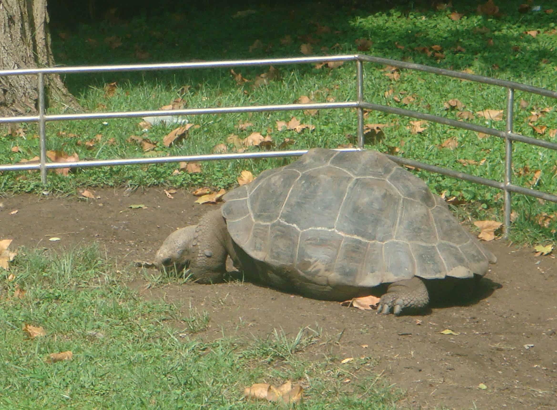 Η χελώνα