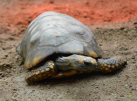 η χελωνα