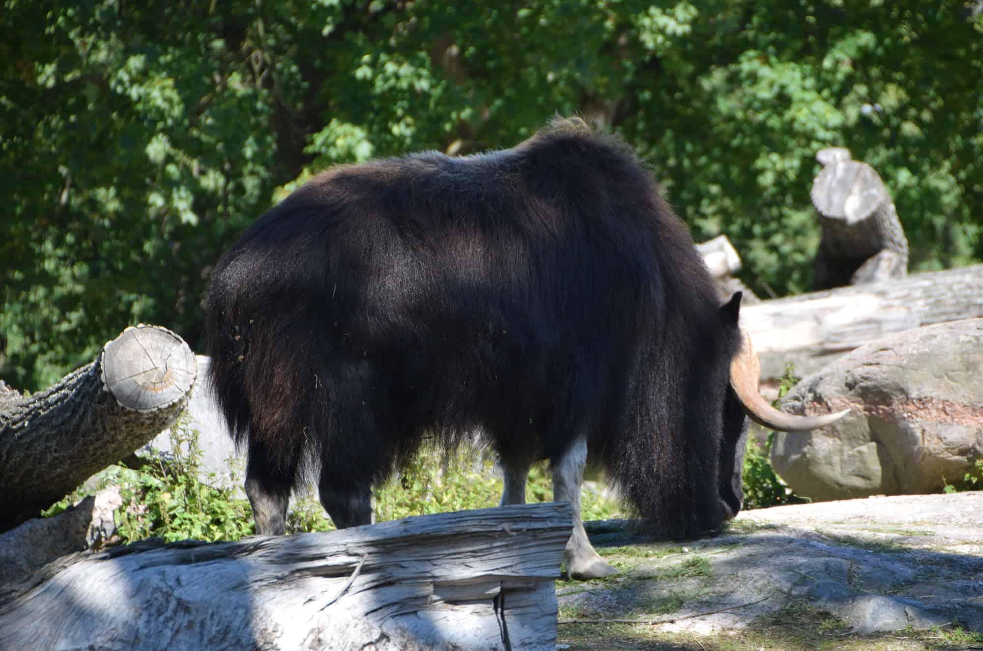 Βούβαλος στον ζωολογικό κήπο του Ελσίνκι