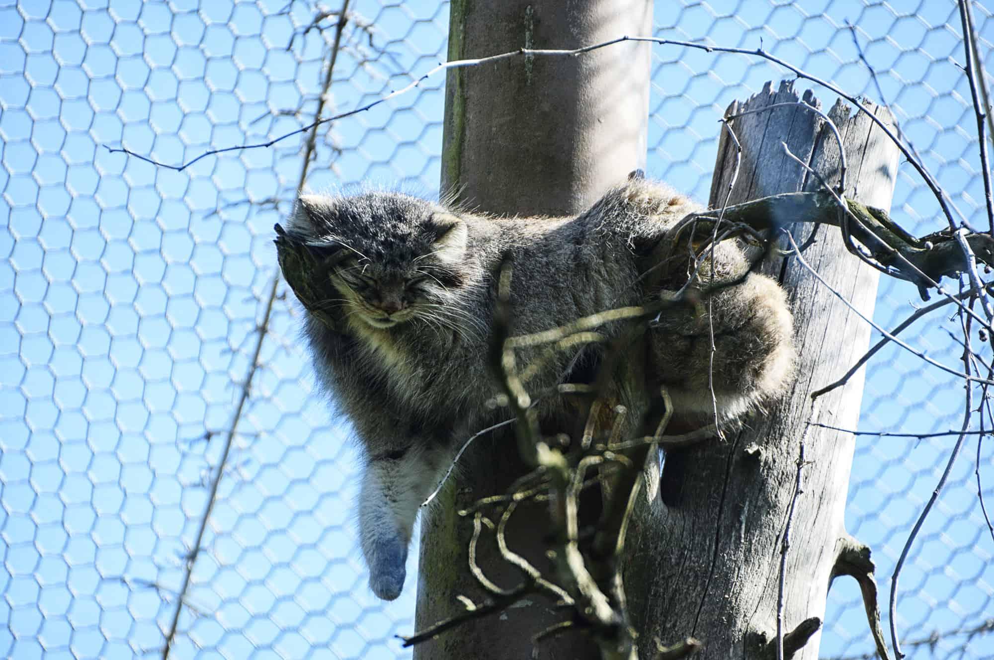 Ζωολογικός κήπος του Ελσίνκι-Αγριόγατα