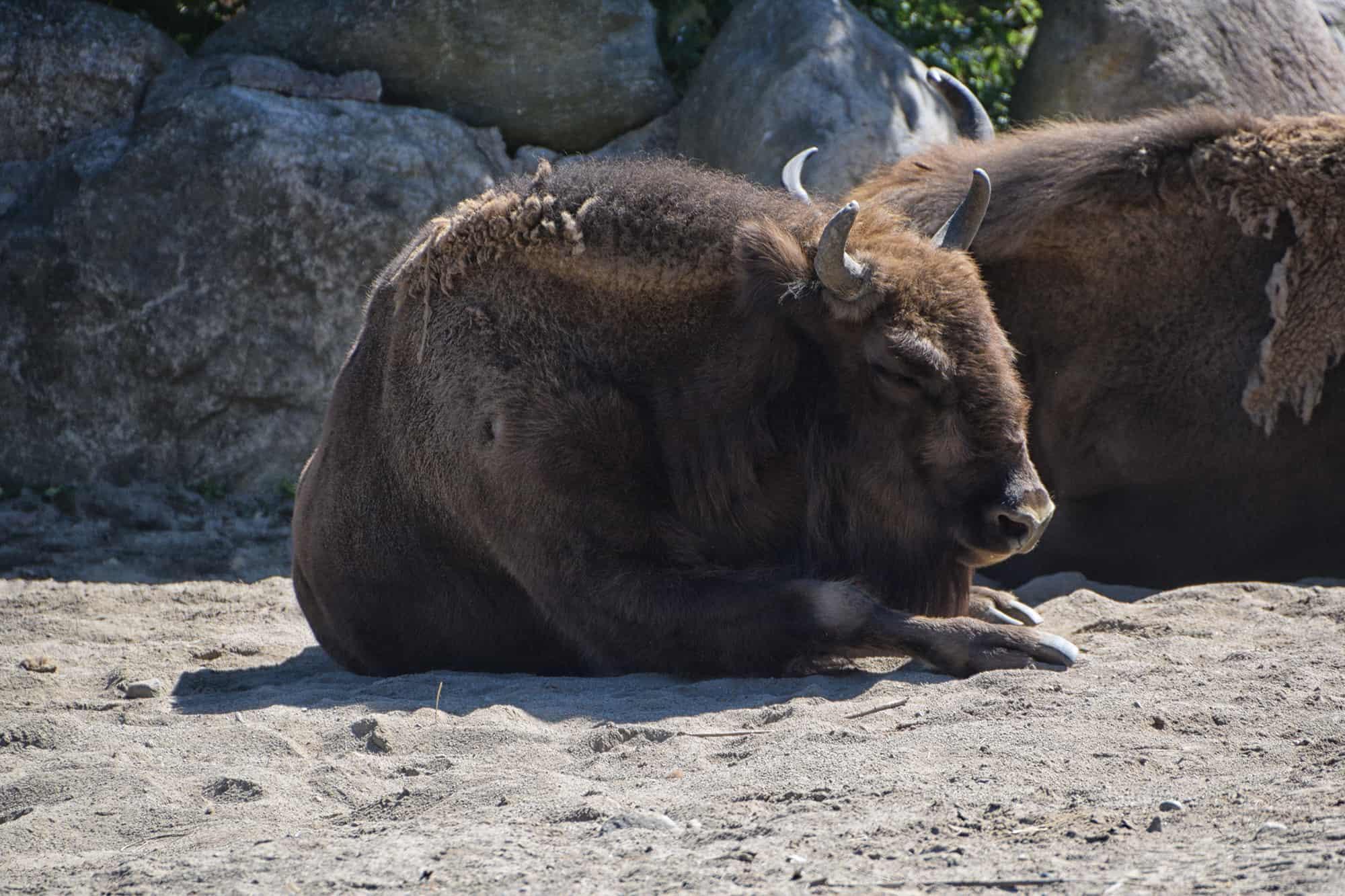Ζωολογικός κήπος του Ελσίνκι-Βίσωνας