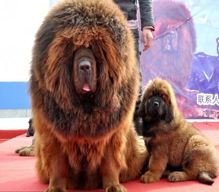 Οι ακριβότερες ράτσες σκύλων