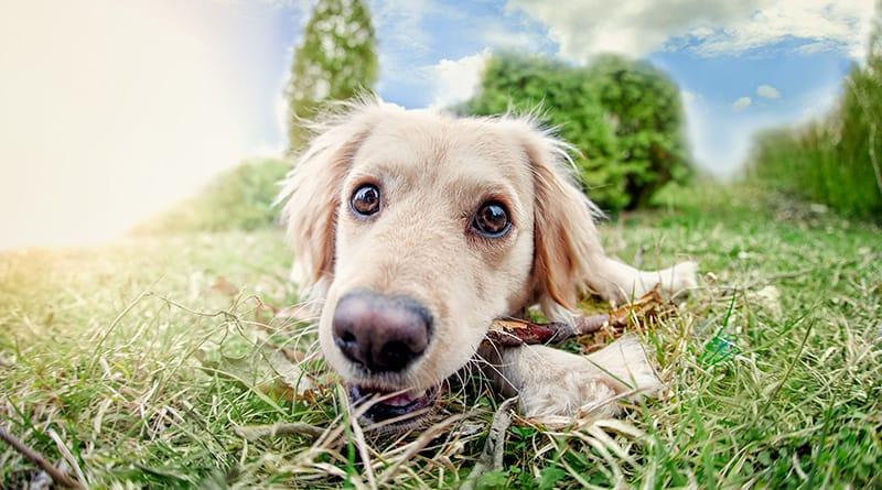 στείρωση αρσενικού σκύλου