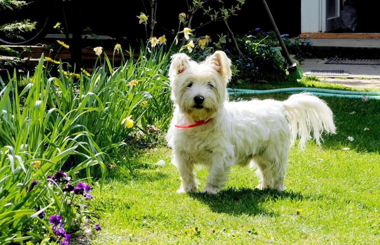 Τα καλύτερα σκυλιά για οικογένεια - Γουέστι
