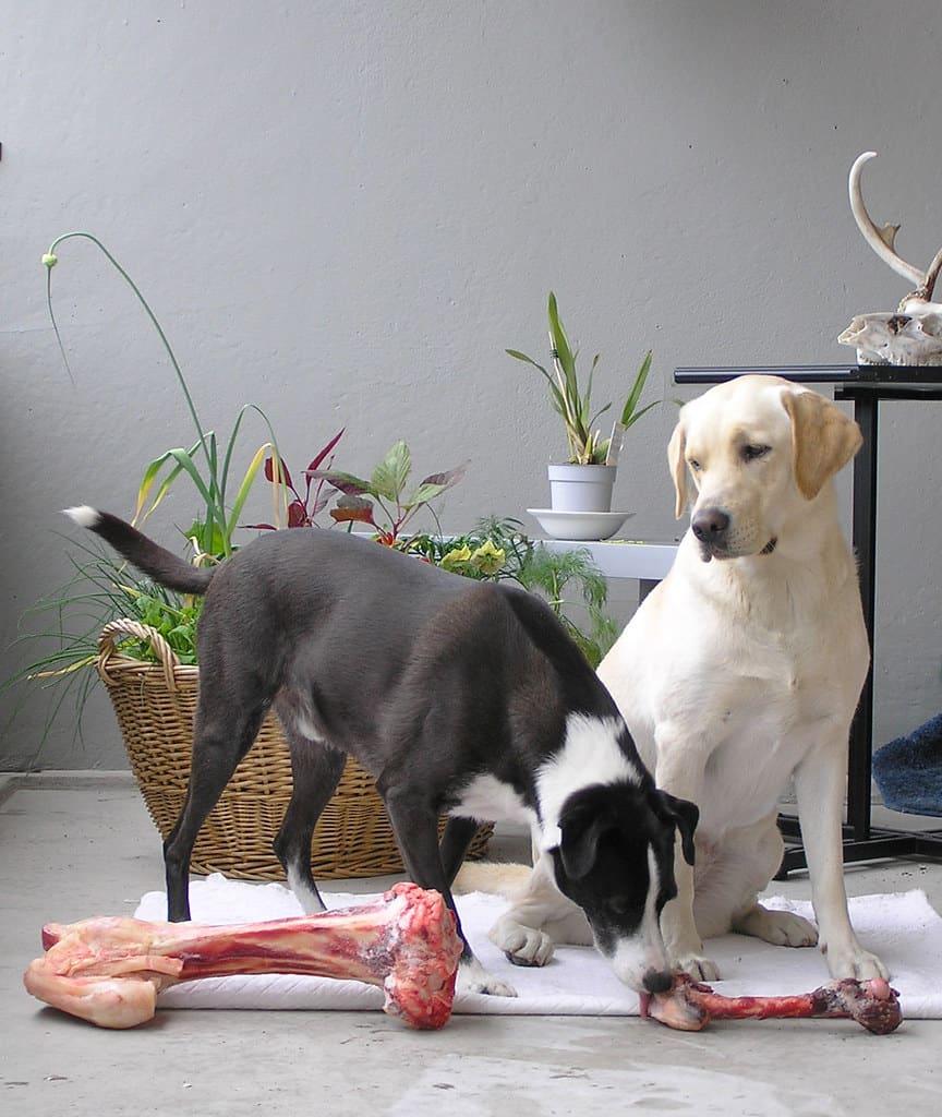 Labrador και ωμή διατροφή - Καλύτερη τροφή
