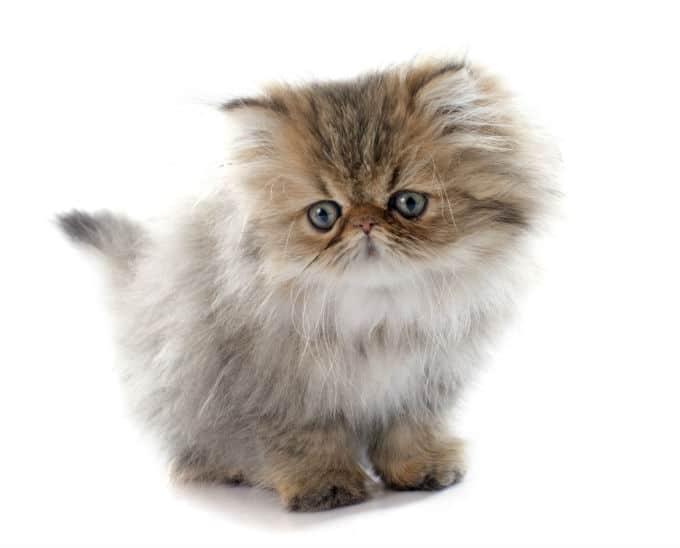 Γάτες περσίας