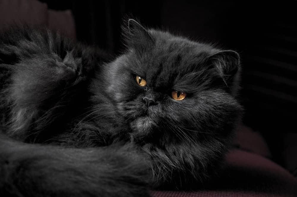 μαύρη γάτα περσίας