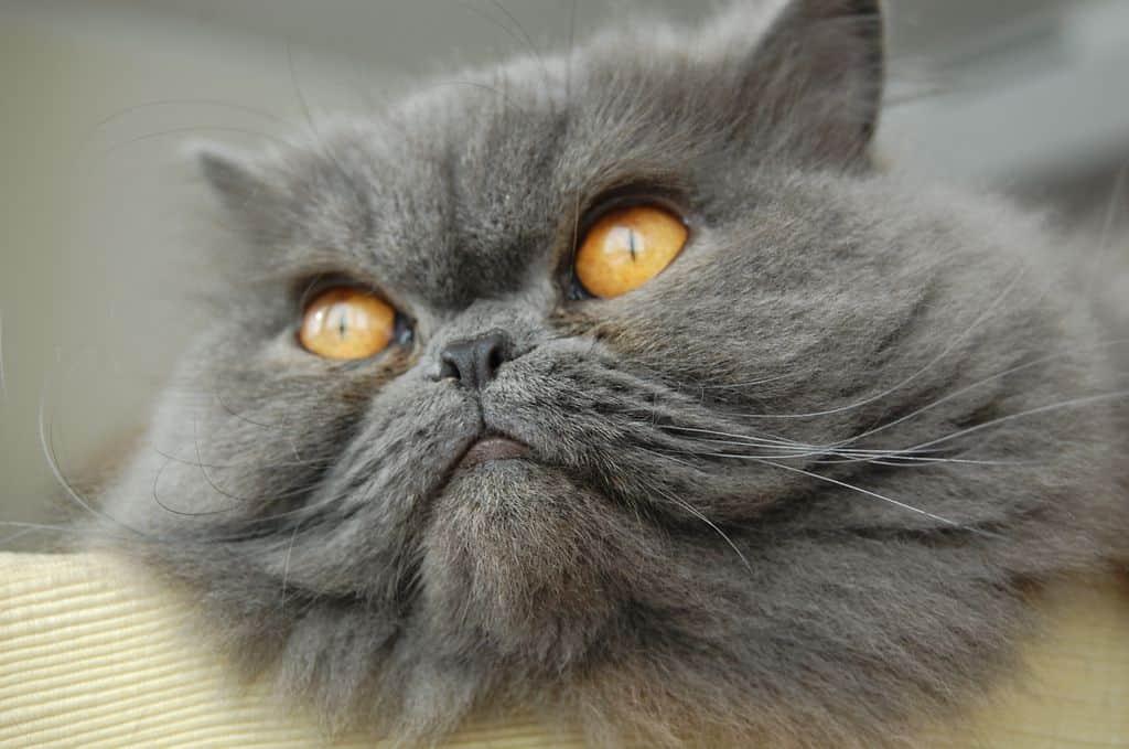 γατα περσιας