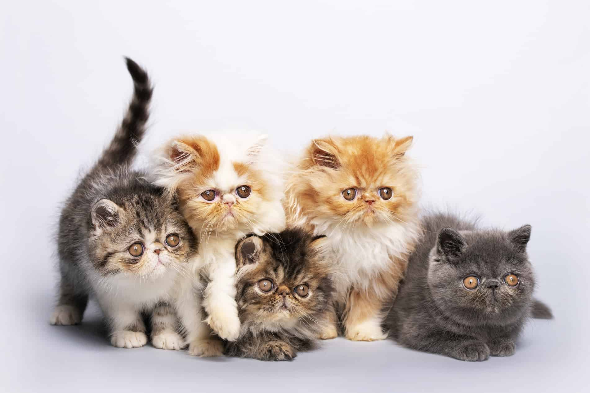 γατάκια περσίας