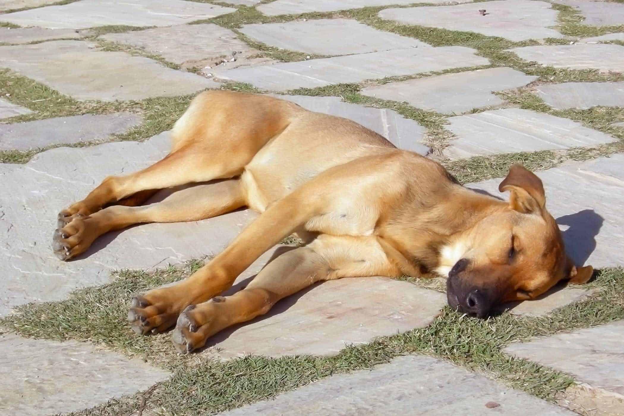θερμοπληξία σκύλου συμπτώματα