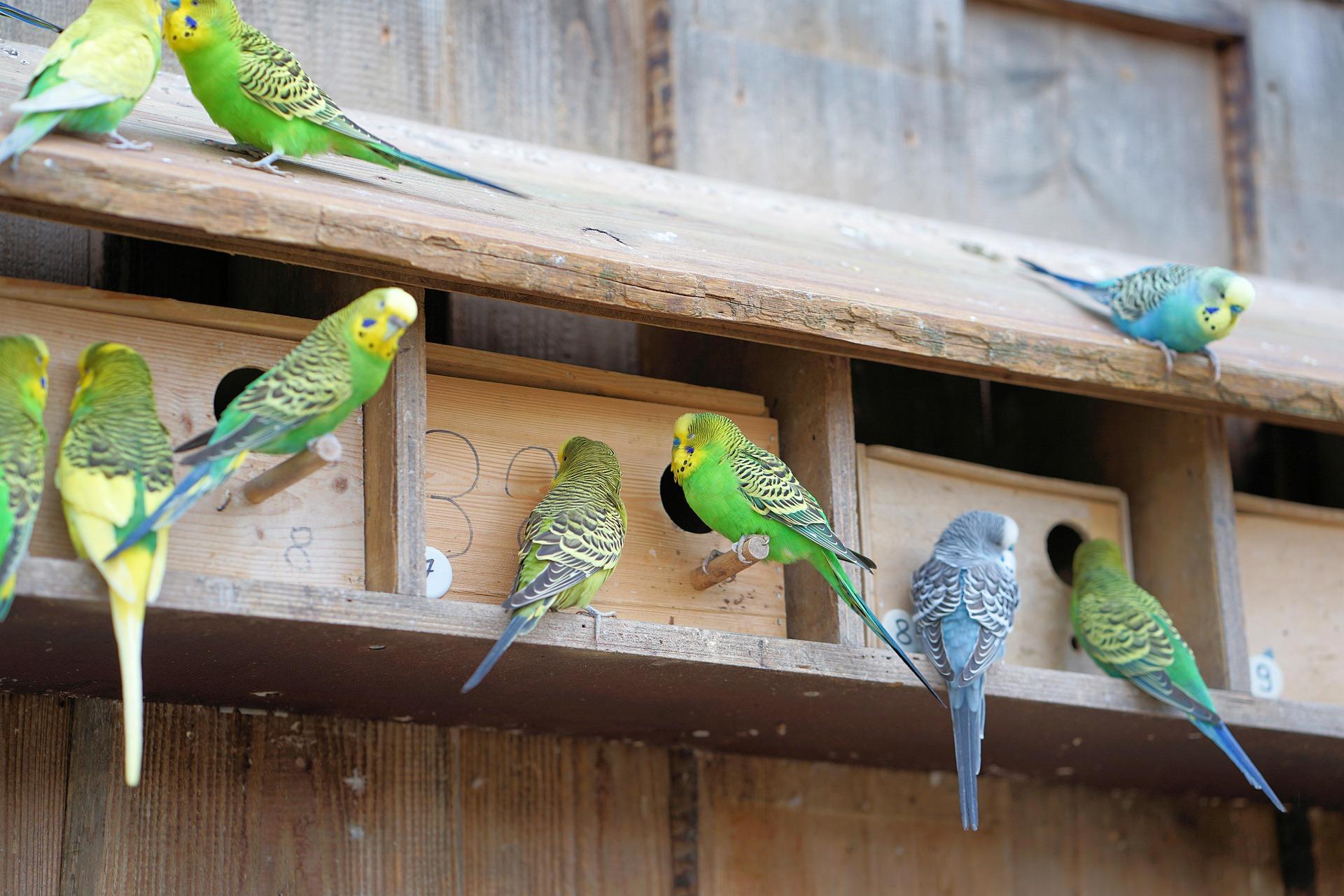 Τα budgies είναι πολύ κοινωνικά πτηνά