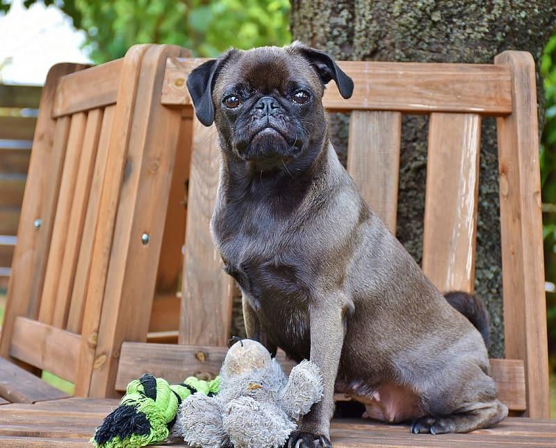 σκύλος παγκ